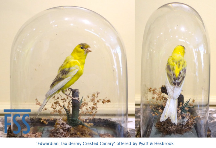 'Edwardian Taxidermy Crested Canary'-fss