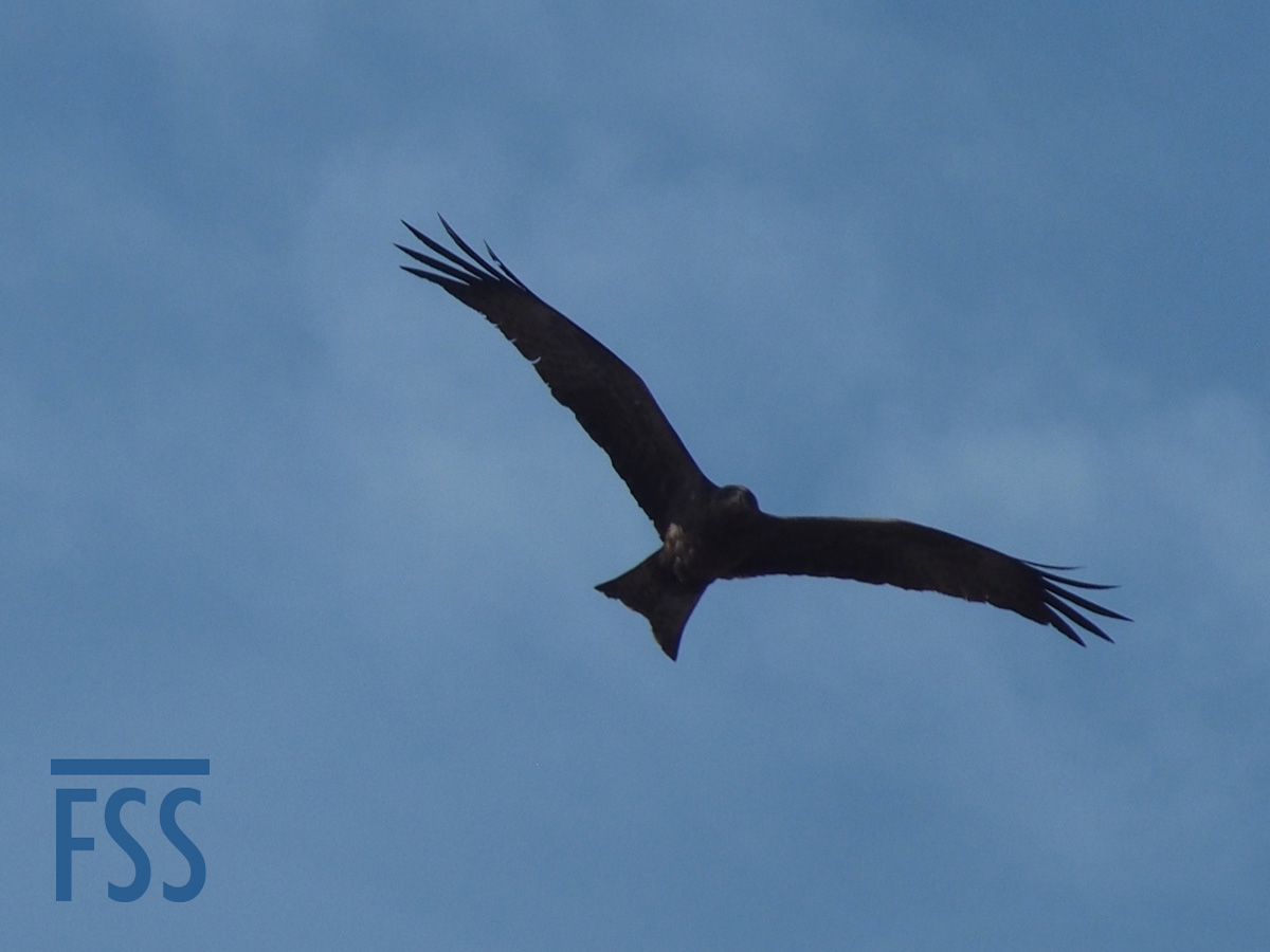 Gambia 2017 Black kite-FSS