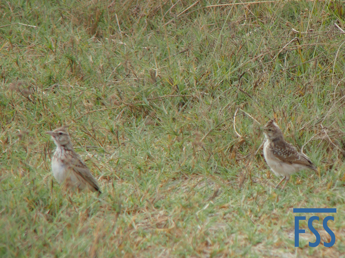 Gambia 2017 Crested larks-FSS