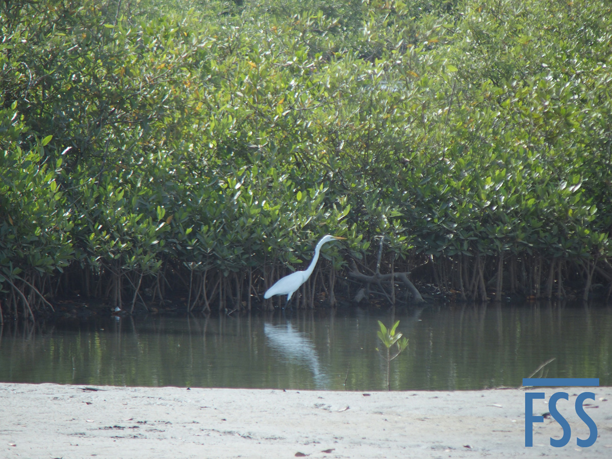 Gambia 2017 Great white egret wading-FSS