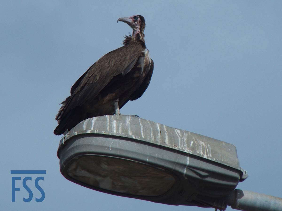 Gambia 2017 Hooded vulture-FSS
