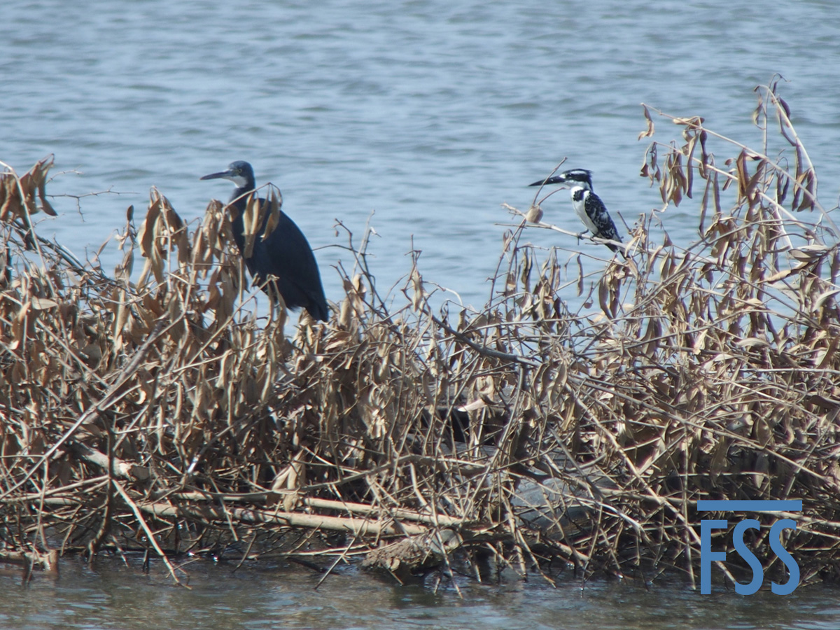 Gambia 2017 Northern reef heron & Pied kingfisher-FSS
