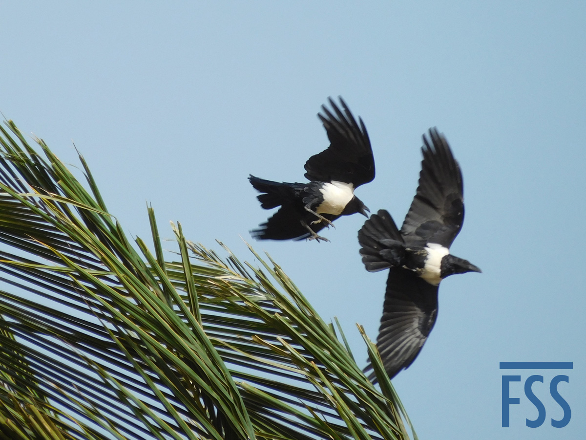 Gambia 2017 Pied crows-FSS