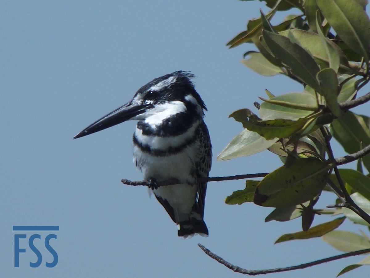 Gambia 2017 Pied kingfisher male-FSS
