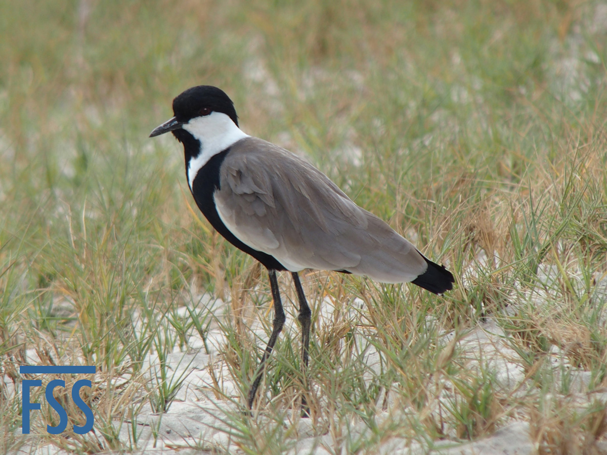 Gambia 2017 Spur winged plover-FSS