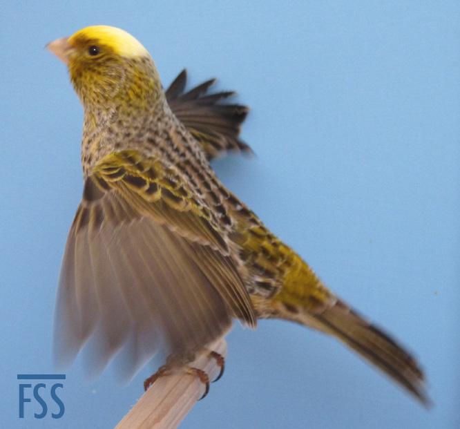 CCSH wings-fss