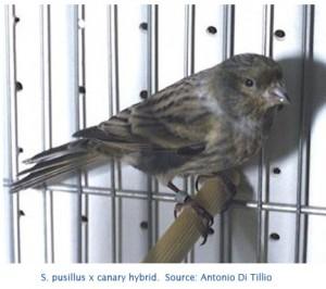 S.pusillus x canary hybrid