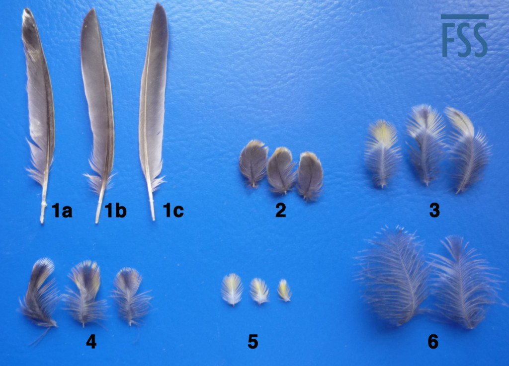 The major types of feathers in the Lizard canary