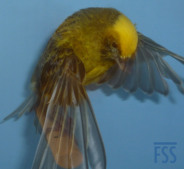 The transparency of the Lizard canary's flight feathers