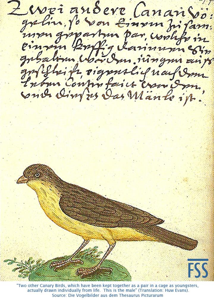 zum Lamm male canary-fss