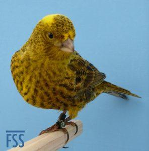 Broken cap gold Lizard canary 2014
