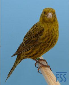 Non cap gold Lizard canary 2014