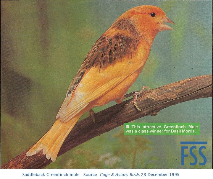 Greenfinch mule 1995-FSS