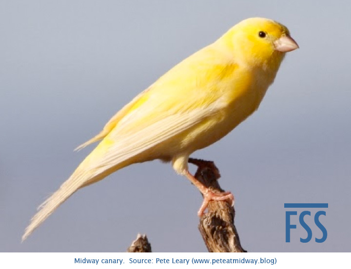 Midway canary, Leary-FSS