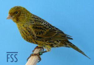 Silver male Lizard canary 2014