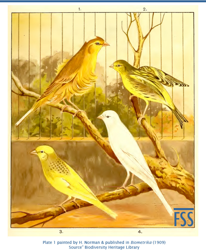 Galloway Siskin-canary hybrid