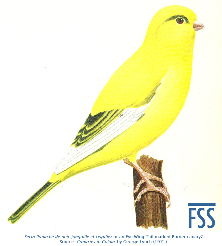 Serin Panache or even-marked Border-FSS