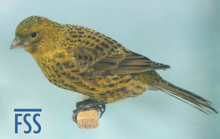 Jules World Champion clear cap gold hen Lizard canary, 2013 World Show