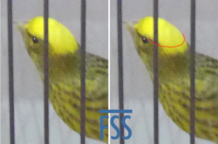Overcapped gold hen-FSS