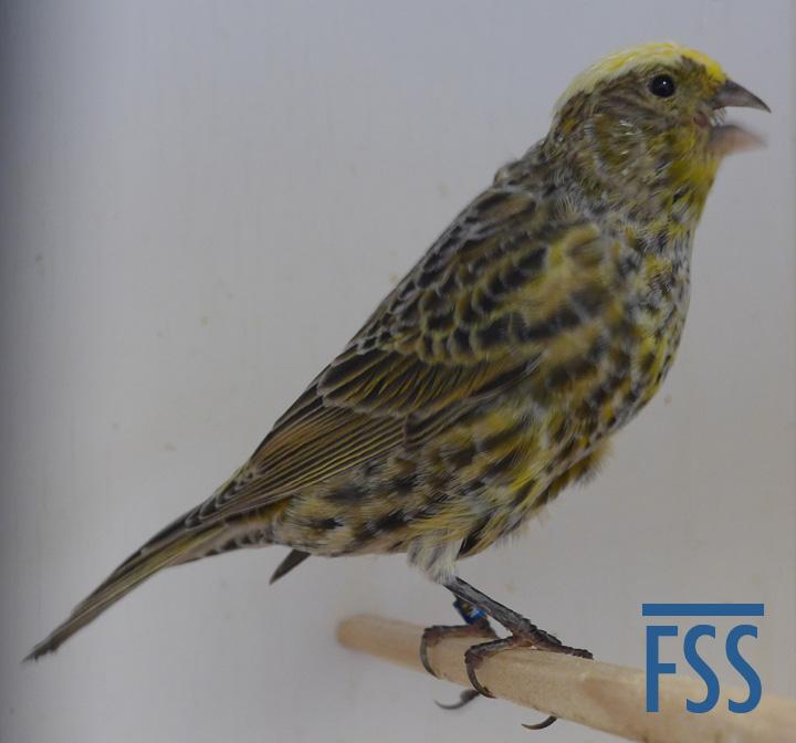 CCSH 2017-017 moult-FSS