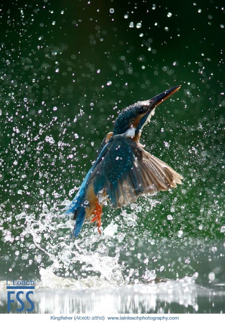 Iain Leach kingfisher 2-FSS