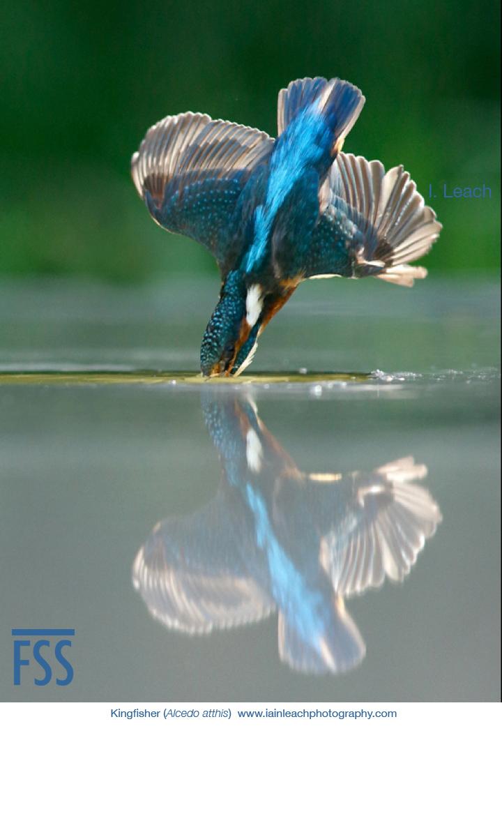 Iain Leach kingfisher 3-FSS