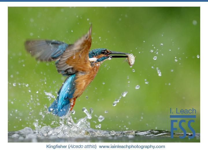 Iain Leach kingfisher-FI