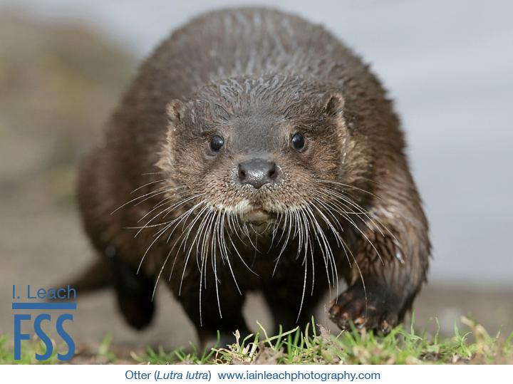 Iain Leach otter-FSS