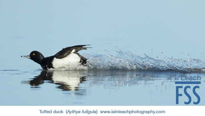 Iain Leach tufted duck-FSS