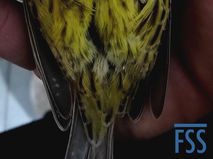 BTMup gold hen dark vent-FSS