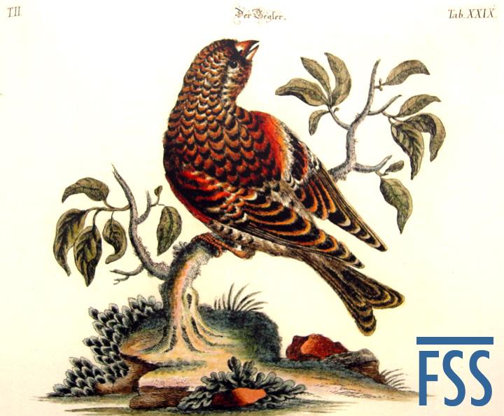 Nuremberg Lizard brambling-FSS