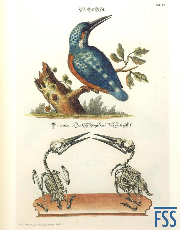 Nuremberg Lizard kingfisher-FSS