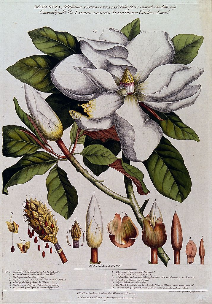 Erhet_Magnolia_species; Wellcome